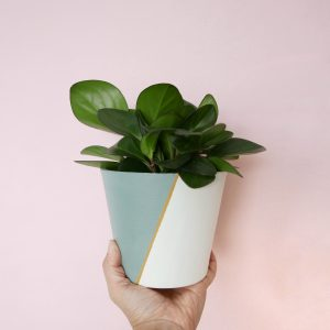 Symphony (duck egg blue) with rubber plant