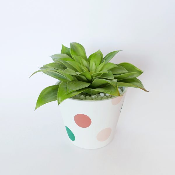 Pollyana (multi-coloured) Planter with Succulent