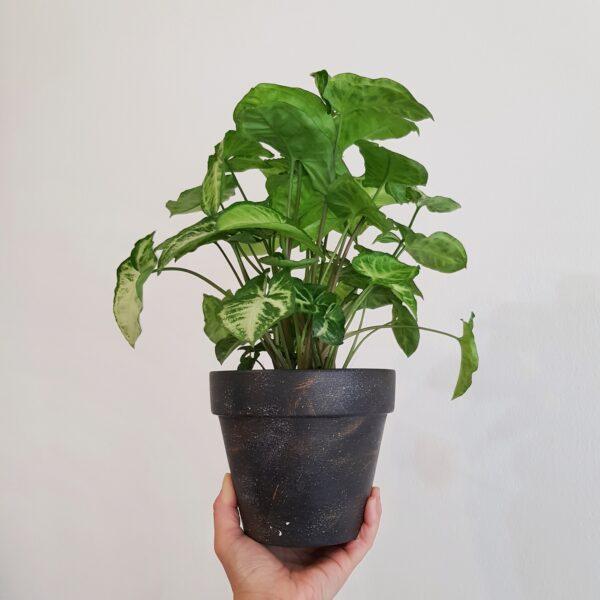 Halley Pot