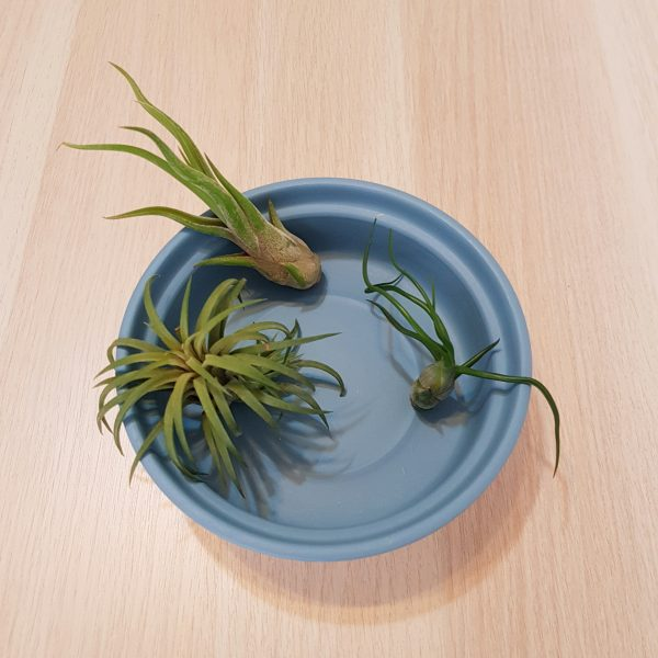 Zen (blue) with air plants