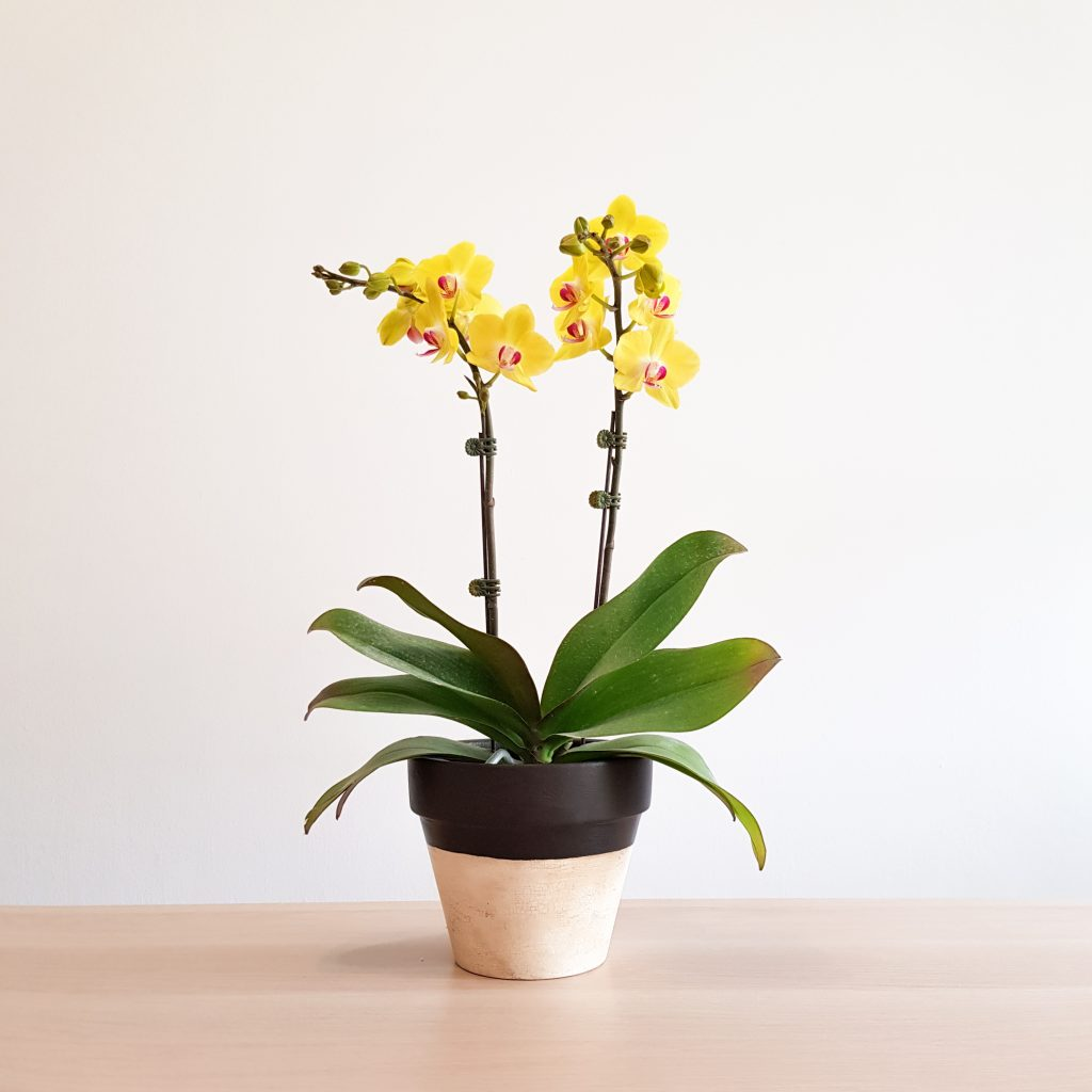Orchid in Decorative Plant Pot (Drogon by The Rain in Spain)